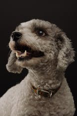 Gray schnauzer dog looking down