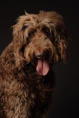 Brown labradoddle dog looking down